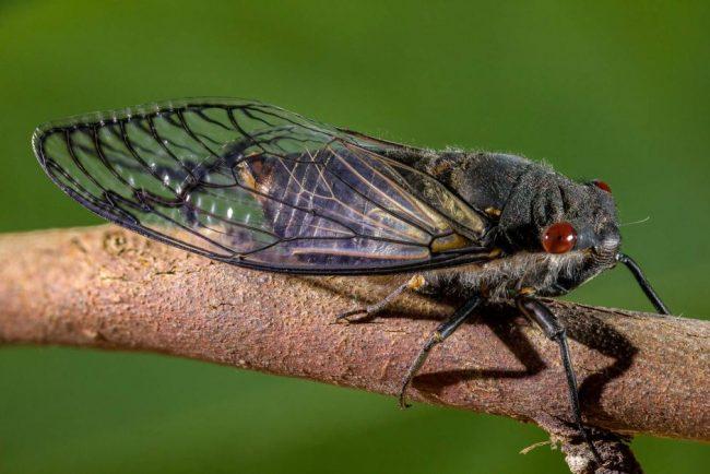 cicadas-in-france